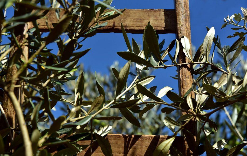 échelle en bois qui fait office de tuteur pour des branches d'olivier
